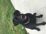 lexi - Labrador (4 años)