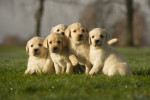 Cinq chiots Labradors blancs assis dans l'herbe