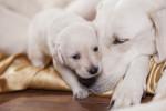 Une chienne Labrador et son petit
