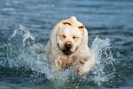 Un Labrador en train de courir dans les vagues