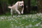 Un Labrador Retriever blanc court dans un champ de fleurs