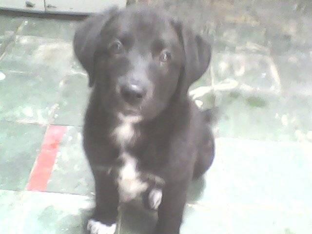fiona - Labrador (3 meses)