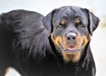 Foto Rottweiler