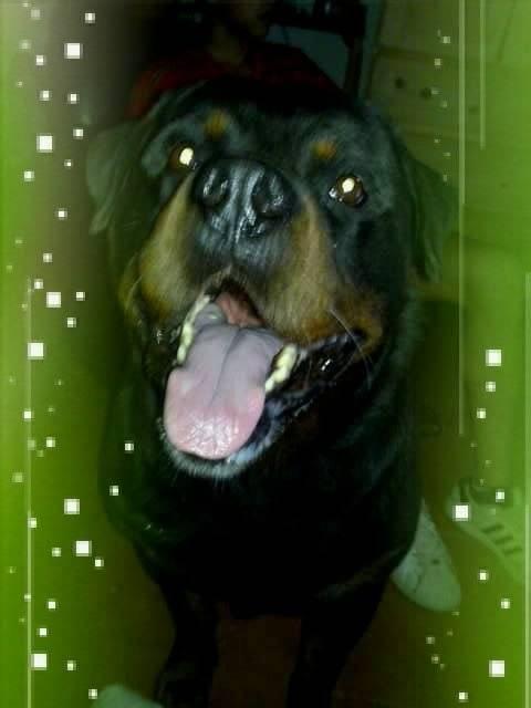 Goliat - Rottweiler Macho (8 años)