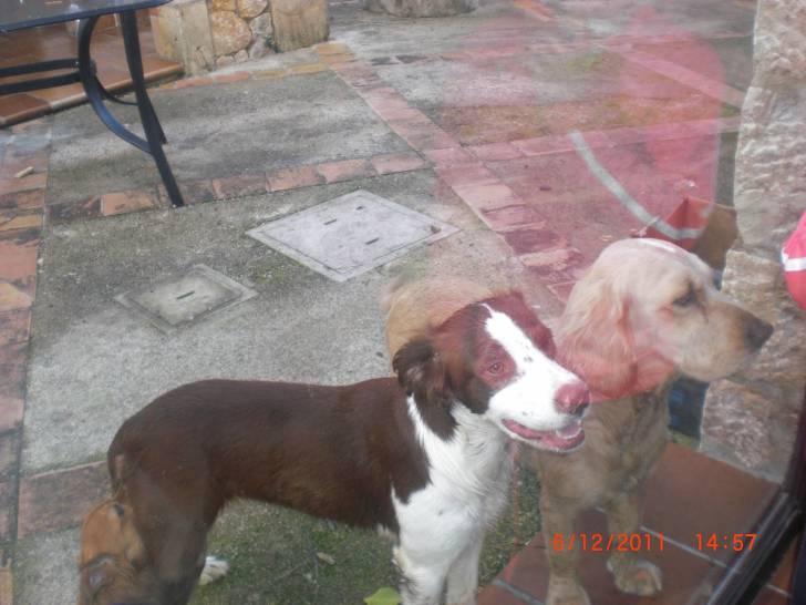 Laia - Antiguo bulldog inglés (4 años)