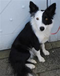 Fly - Border Collie (6 meses)