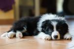 Un chiot Border Collie allongé dans le salon