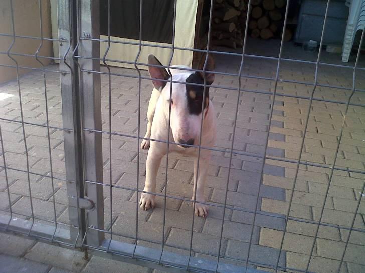 Kira - Bull terrier (4 años)