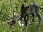 wolfcub - Lobo (7 meses)