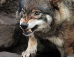 lobo - Lobo Macho (7 meses)