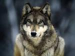 Lobo October - Lobo Hembra (3 años)