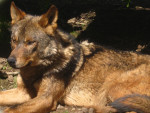Lobo raul - Lobo Macho (Acaba de nacer)
