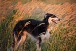 Un Barzoï debout dans un champ de blé