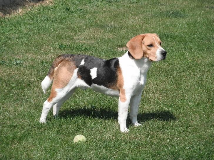 Xuco - Beagle Macho (3 meses)