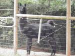 Cabra Alpaca - Macho (Otro)