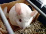 Chinchilla -