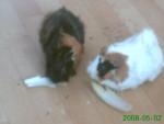 Conejillo de Indias - Macho (2 años)