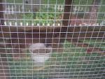 Conejo enano - Macho (1 año)