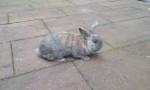 Conejo enano Lucky - Macho (2 años)