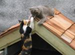 Gato -