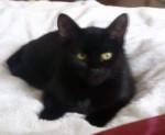 Gato Prunelle - Hembra (6 meses)