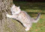 Un jeune chat Norvégien grimpe à un arbre