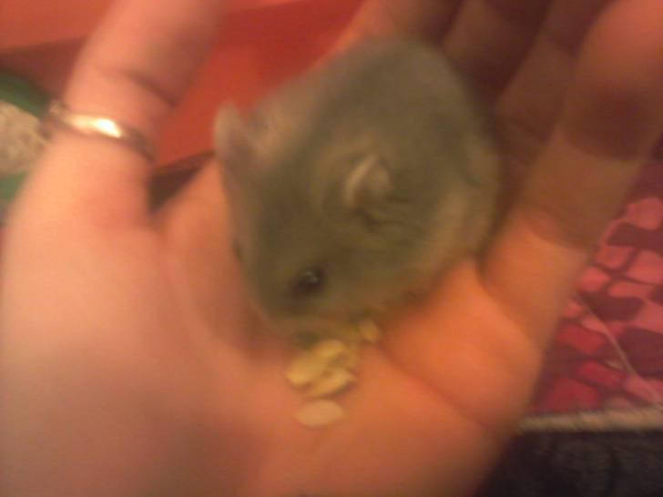 Hamster - (2 meses)