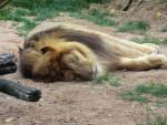 León lion -  (Acaba de nacer)