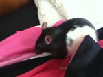 Rata - Macho (8 meses)