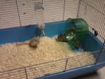 Ratón spidie,perle,princesse,cristalle;petit gros -  (2 meses)