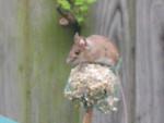 Ratón monty - Macho (8 meses)