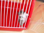 Ratón Minxie - Hembra (0 meses)