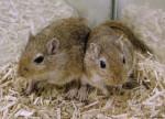Ratón baya et fanny - Hembra (6 meses)