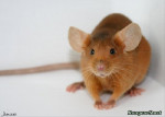 Ratón Brun - Macho (0 meses)