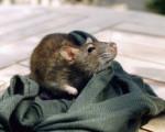 Ratón Raptus -  (Acaba de nacer)