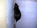 Ratón Escalade -  (Acaba de nacer)