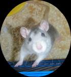 Ratón Chepas curieuse -  (0 meses)