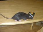 Ratón Bunny en manque de Nicotine -  (0 meses)