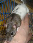 Ratón Adrienne en sortie -  (0 meses)