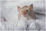 Ratón NUM Domyoji - Macho (Acaba de nacer)