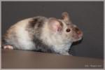 Ratón SIL Magellan - Macho (Acaba de nacer)
