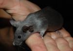 Ratón Mouse - Hembra (8 meses)