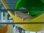 Ratón César - Macho (6 meses)