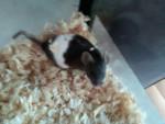 Ratón Coco - Hembra (2 meses)