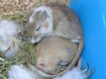 Ratón coquin et calin - Macho (1 año)