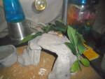 Serpiente Nub - Macho (3 meses)