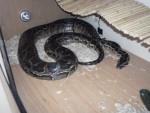 Serpiente - Macho (2 años)