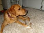 Perro Lilou -  Hembra (4 meses)