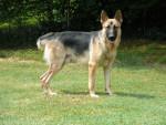 Lobo puppy -  Macho (6 años)