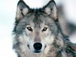 WolfBlood - Macho (1 año)